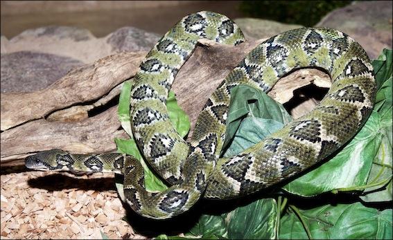 dzg_garter_snake_4