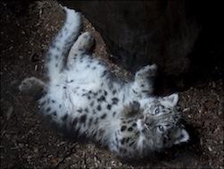 snow_leopard_2015_e_makalu_1