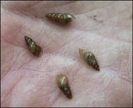 dzg_mud_snails2