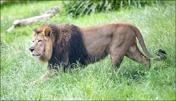 dzg_mwamba_lion_3