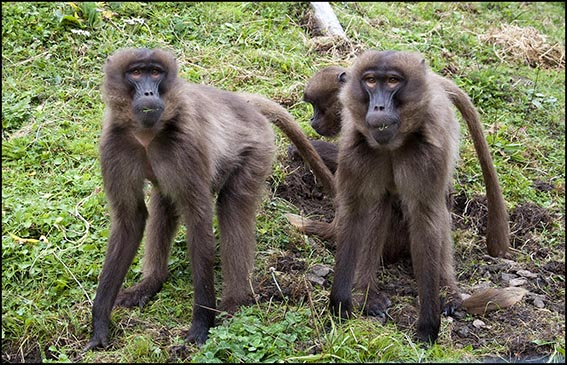 dzg_new_baboons_3