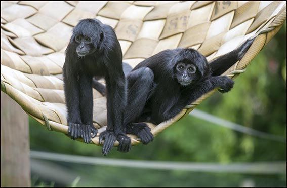 dzg_new_spider_monkeys_2_web