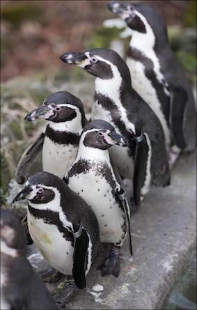 web_dzg_baby_penguin_3_2