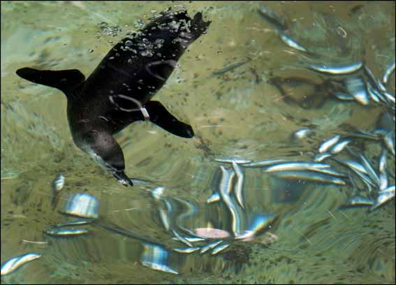 dzg_penguin_swim1_web