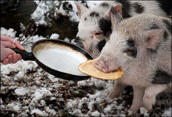 dzg_pig_pancake1