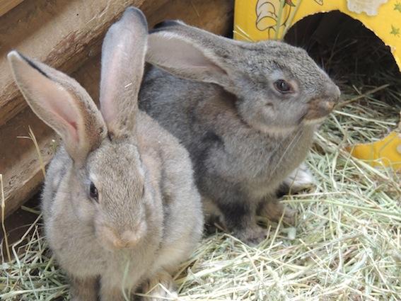 dzg_rabbit1