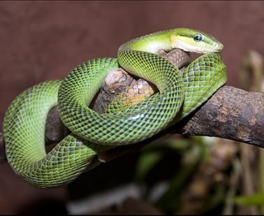 dzg_rat_snake_sloughs4