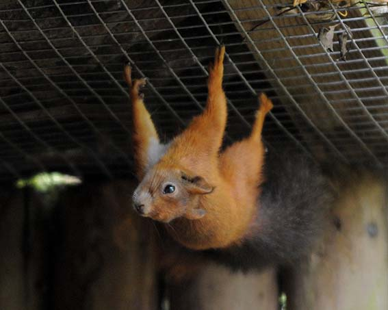 dzg_red_squirrel