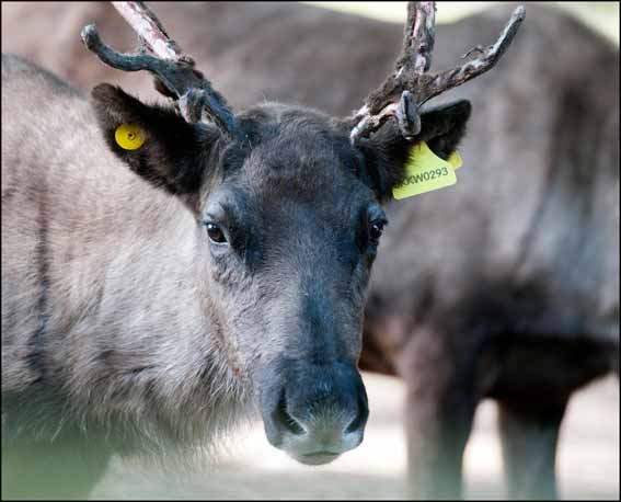 dzg_reindeer_ear_tags4_webb