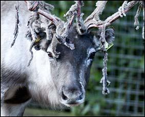 dzg_reindeer_moult_web_0
