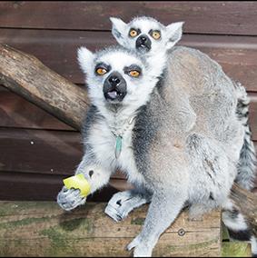 dzg_ringtail_lemur_1