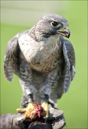 dzg_riot_falcon_1