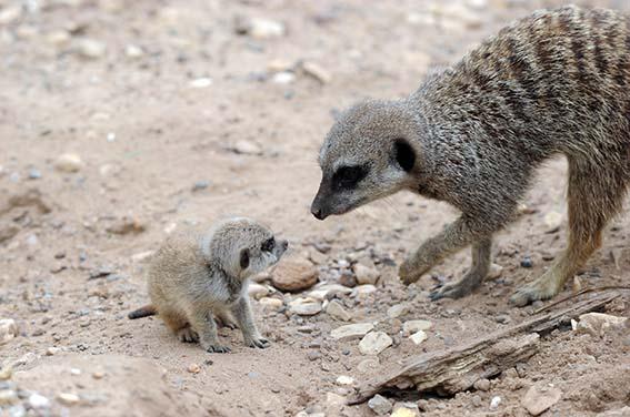 dzg_royal_meerkats_web