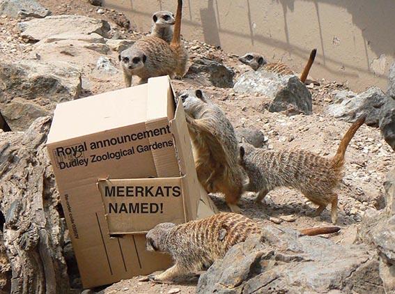 dzg_royal_meerkats_web_3