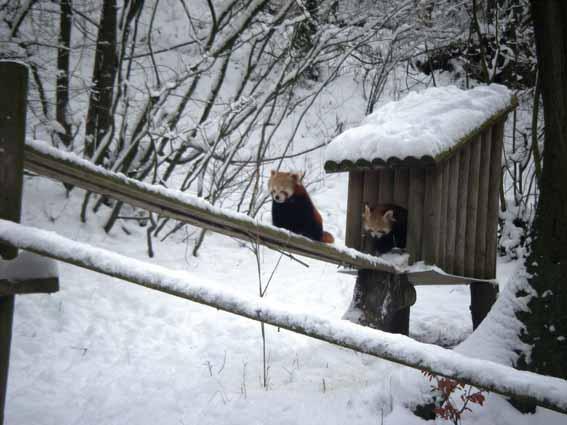 dzg_snow_-_peacocks