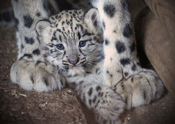 dzg_snow_leopard__4tc