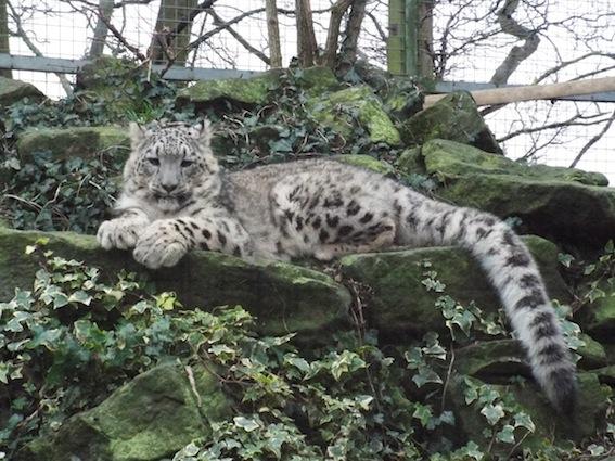 dzg_snow_leopard_fam_tree_0