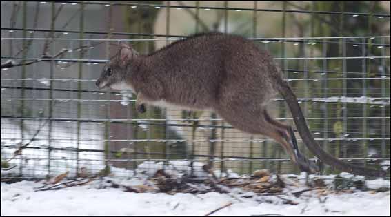 dzg_snow_tapir4web