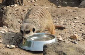 dzg_sunny_meerkats_0