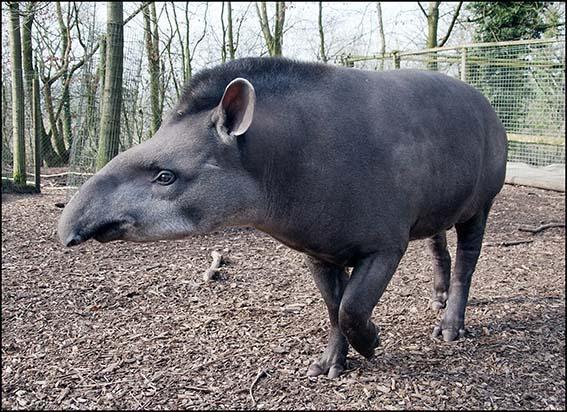 dzg_tapir_chico_1