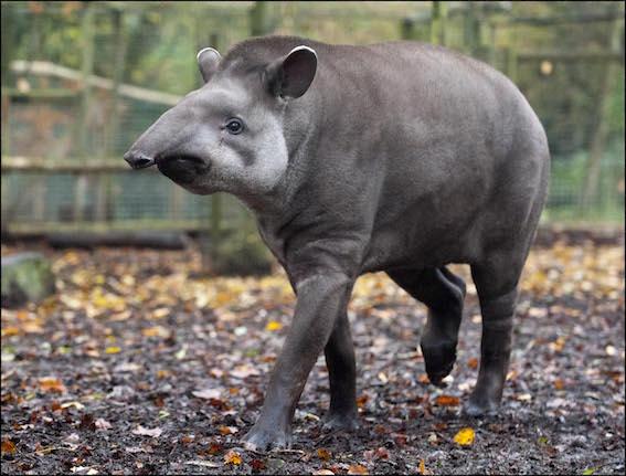 dzg_tapir_meena_2