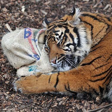 dzg_tigers-sleep