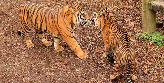 dzg_tigers_2_web_0