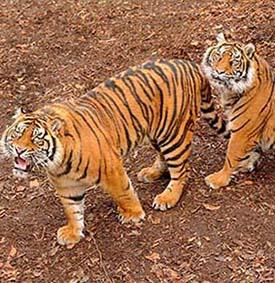 dzg_bbc_tigers_3_promo_0