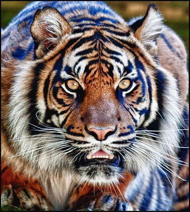 dzg_tigers_daseep_stare2_wb
