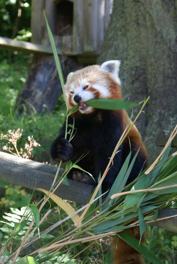 dzg_panda_baby_coming_soon2