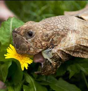 dzg_tortoise_dandelion1web