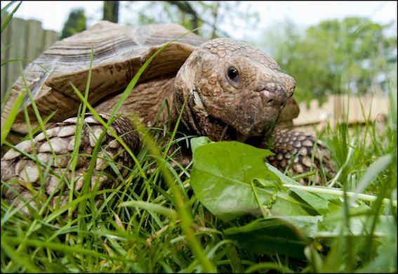 dzg_tortoise_dandelion4_0