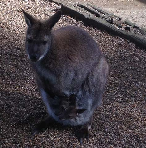 dzg_wallaby-joeys