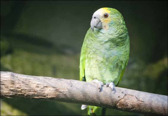 dzg_yellow_shouldered_parrot2