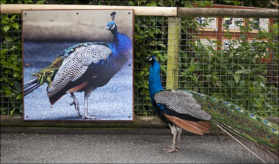 dzg_zoo_signs_peacock1_damage_a