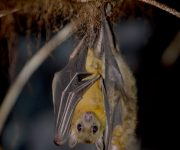 Bat (Egyptian fruit bat)