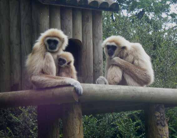 gibbonfamilypic2