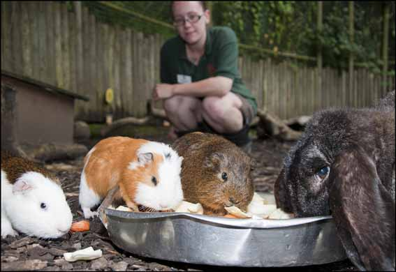 guineapigs_web_2