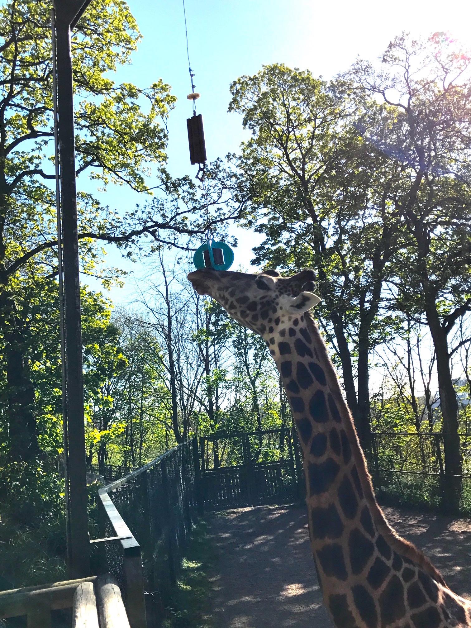 Ungulate Zoo Ungulate winner...