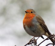 Watch bird ringing today