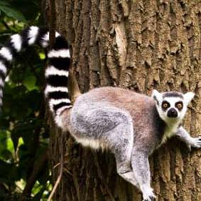 lemur_ring_tailed