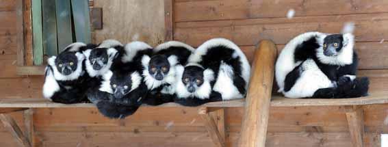 lemur_snow_1web