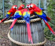 Macaw Parrot (Scarlet)