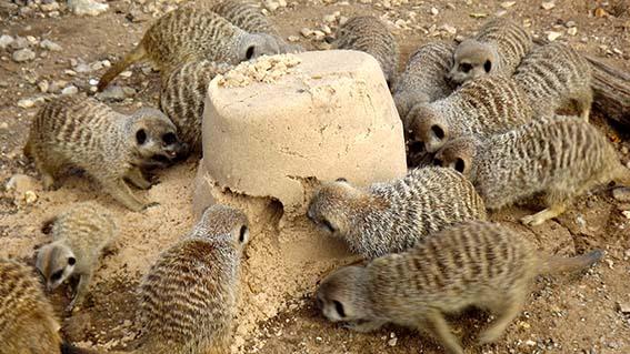 meerkat_sand_1_web