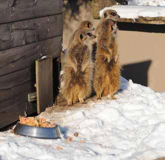 meerkats-snow-web