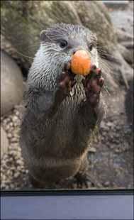 otter_carrotballs2-web