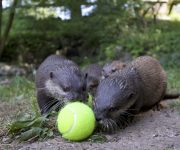 Otters on the ball