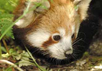 panda-leaves-webjpg