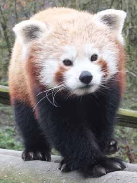 panda-woodchip