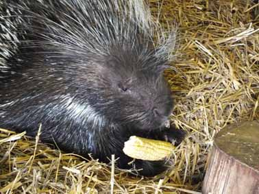 Porcupine treats